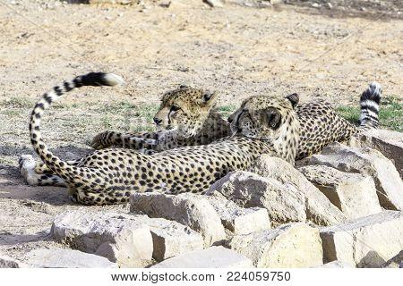 two Cheetahs in natural habitat, Predators cats