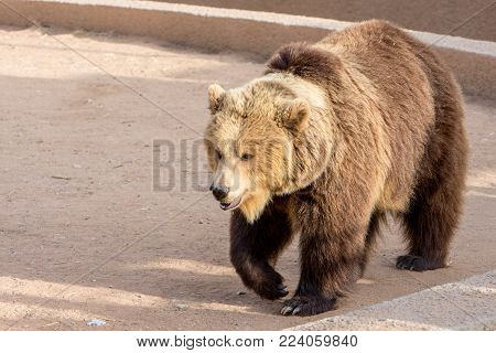 Brown bear in zoo, great animals in zoo