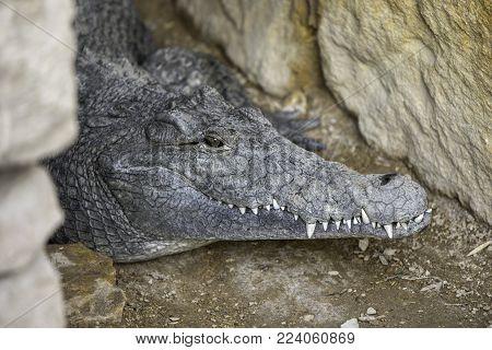 crocodile head between rocks, crying animals, danger