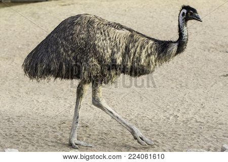 Emu walking on dry land, like ostrich