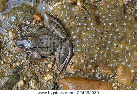 Close-up Of A Frog And Frogspawn