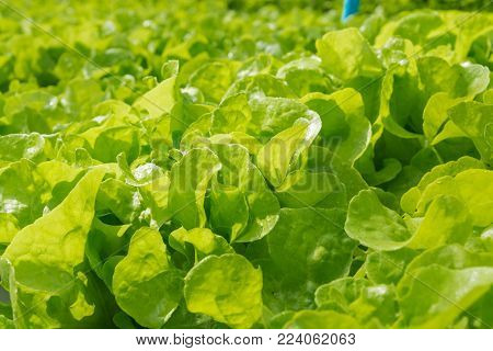 Raw Green Salad Lettuce Growing In Plastic Pipe In Hydroponics Organic Agriculture Farm System
