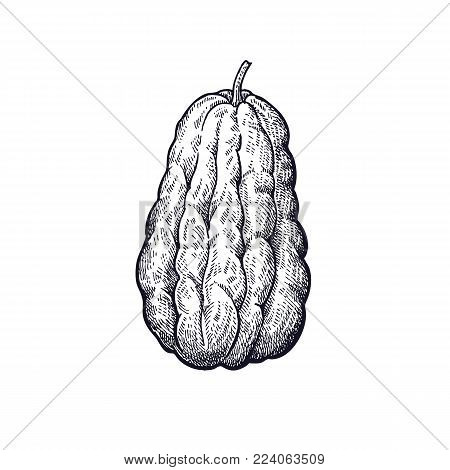 Chayote. Hand drawing of vegetable. Vector art illustration. Isolated image of black ink on white background. Vintage engraving. Kitchen design for decoration recipes, menus, signage shops and markets