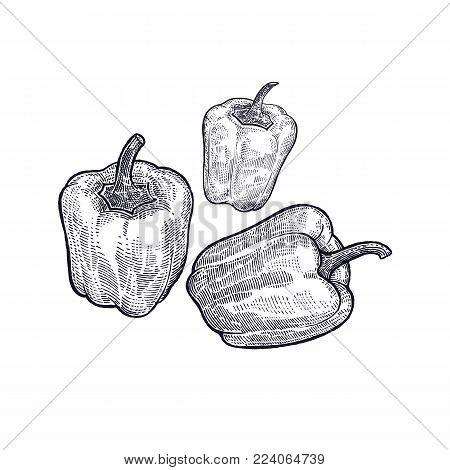 Pepper. Hand drawing of vegetable. Vector art illustration. Isolated image of black ink on white background. Vintage engraving. Kitchen design for decoration recipes, menus, sign shops, markets.