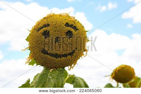 A happy face on a Sunflower in a field