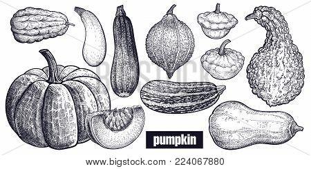 Various Of Pumpkin. Chayote, Squash, Zucchini, Hubbard Squash, Bush Pumpkin, Crookneck, Butternut. H
