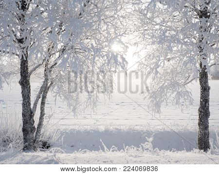 Birch tree in a Cold Winter landscape with snow and frost