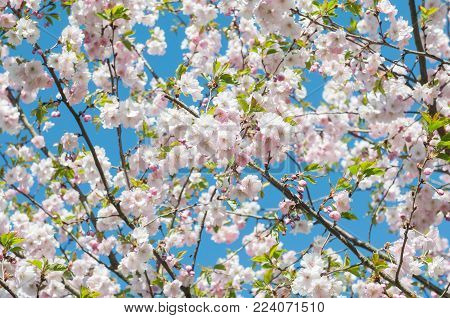 Sakura. Cherry blossoms japan. Pink white spring blossom background. Branch of a cherry tree on a blue sky background