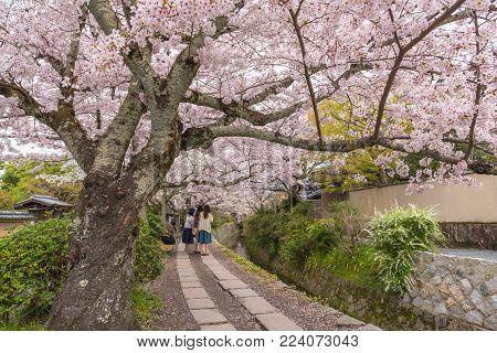 Philosopher's Walk with sakura (cherry blossom) in the Springtime. Kyoto Japan.