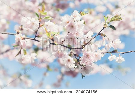 Sakura. Cherry blossoms japan. Pink spring blossom background. Branch of a cherry tree on a blue sky background