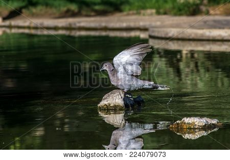 Dove taking flight with wings spread to fly, pigeon or rock dove perched while spread wings