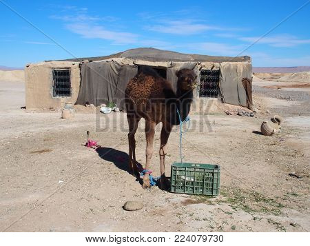Cute young camel and moroccan cottage in village on Sahara desert landscape in central Morocco with clear blue sky in 2017 warm sunny winter day, Africa on February.