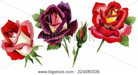 Wildflower two-color dark red rose flower in a watercolor style isolated. Full name of the plant: rose, hulthemia, rosa. Aquarelle wild flower for background, texture, wrapper pattern or border.