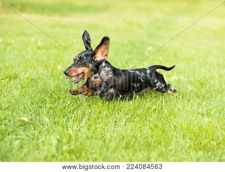 Dachshund runs along the grass, jumps among the green meadows