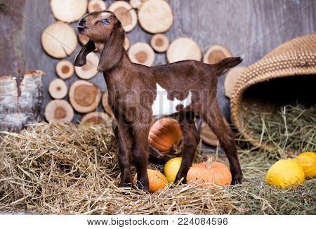 Nubian goat to the farm in the stable