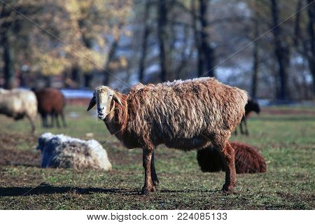 sheep grazing in a meadow, a herd of sheep in rural areas in the autumn, sheep in the meadow posing for the camera
