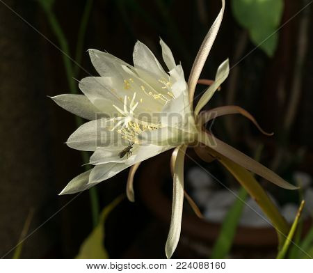 white flower Queen of Night Epiphyllum oxypetalum with a bee pollinating, nocturnal very fragrant flower blooms at night and wilts the next day. Nisagandhi bethlehem lilly cactus flower