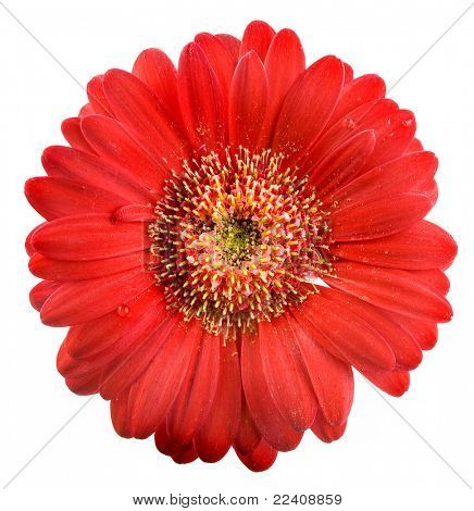 Head of red flower isolated on white background
