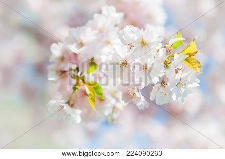 Sakura with space for text. Cherry blossoms japan. Pink spring blossom background. Branch of a cherry tree on a blue sky background