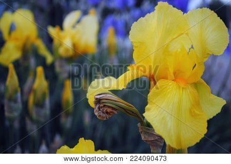 Flower Yellow Iris Closeup Outdoors, Beautiful Flower Iris On A Bright Background