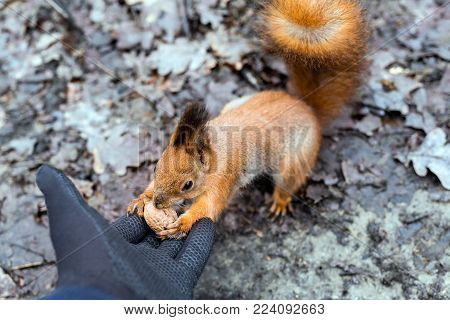 Close up of adults hand in black protection gloves feeding cute hungry fluffy squirrel with walnut in a forest. Danger of being bitten. Rabies
