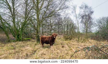 Highland cow between the trees and the long yellowed grasses in a Dutch nature reserve lookscuriously  at the photographer on a cloudy day in the winter season.