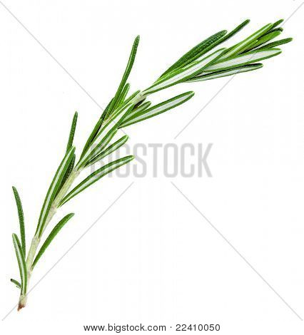 A sprig  rosemary , the herb  isolated on white background poster