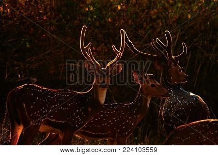 Spotted deers - winters are the best time to capture the beauty of spotted deer as their velvet antlers