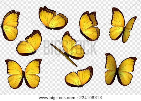 Butterfly yellow vector illustration. Set yellow isolated butterflies. Insects Lepidoptera Morpho amathonte.