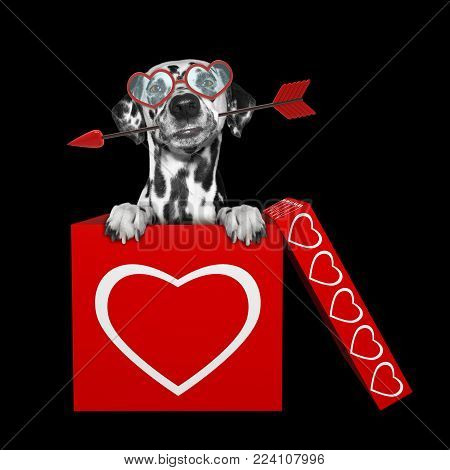 Cute dalmatian dog with arrow sitting in valentines box. Isolated on black background