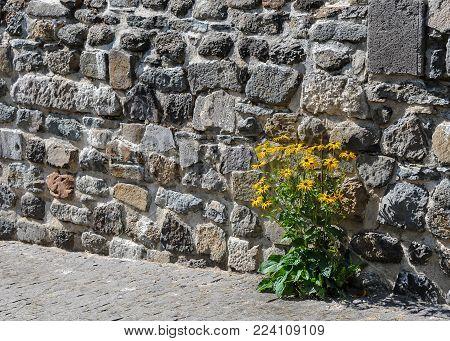 Orange coneflowers (Rudbeckia fulgida) growing growing in a wall