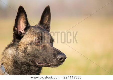 portrait of the head of the Belgian Malinois adult shepherd and a blurred background