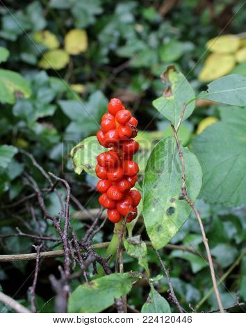 Red Lords and Ladies Arum Berries in the Forest