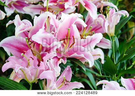 Flower nature background, Blossom pink lilly flower in spring season