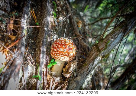 Amanita muscaria. fly agaric toadstool mushroom. Close-up view