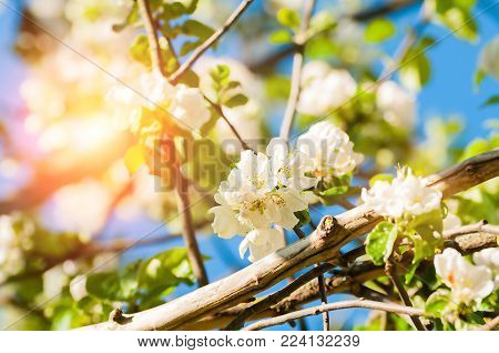 Spring flowers of blooming spring apple tree. Natural spring flower landscape, closeup of spring apple flowers blooming in spring garden. Sunny spring nature view of spring apple flowers under sunlight