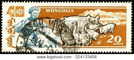 Ukraine - circa 2018: A postage stamp printed in Mongolia show Domestic Pig or Sus scrofa domestica, Domestic Goose. Cattle breeding, poultry farming. Circa 1961