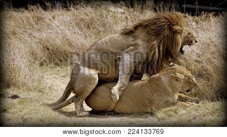 A lion and a lioness in the sabana