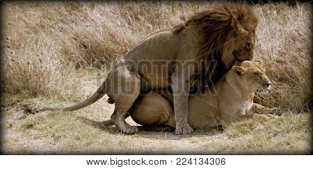 Lion and lioness together in the sabana in Africa