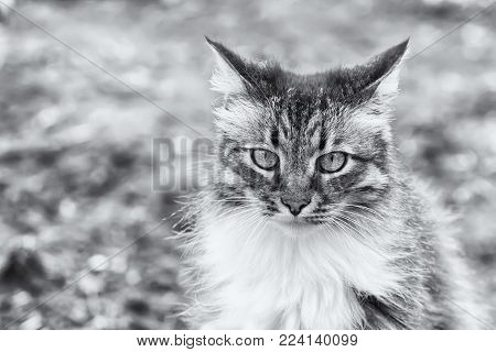 Front view of a beautiful long hired maine coon cat, soft focus shot of a brown, white and black domestic cat in a portrait style