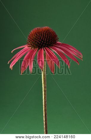 Colorful and crisp image of red coneflower on green background