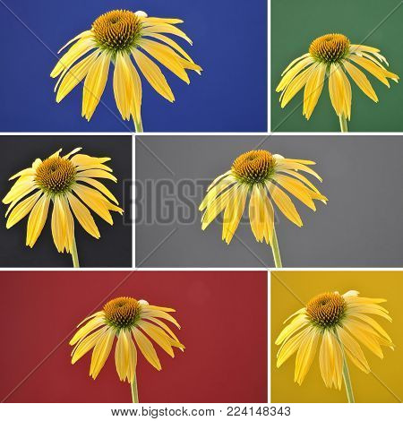 Colorful and crisp image of collage yellow coneflower on background