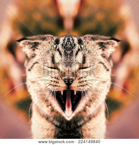 Cat with open mouth and canines. The open mouth of a cat in a mirror image.