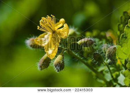 Större ört (Chelidonium majus)