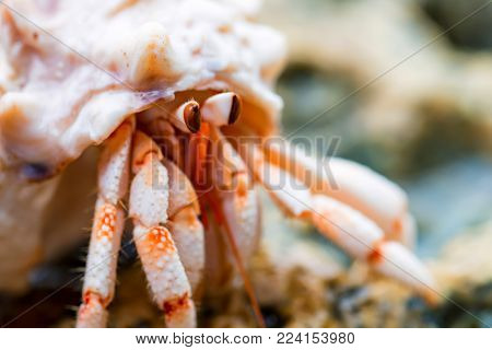Closeup hermit crab on reef during low tide