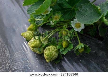 fresh strawberries on a field horizontal composition