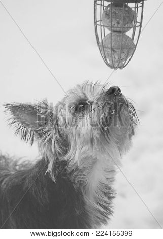 Pets and animals, a small yorkie, Yorkshire terrier dog sniffing bird feeder with snow on his nose.