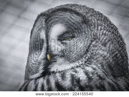 Wildlife and birds, a black and white portrait face image of a Great Grey Owl bird of prey.