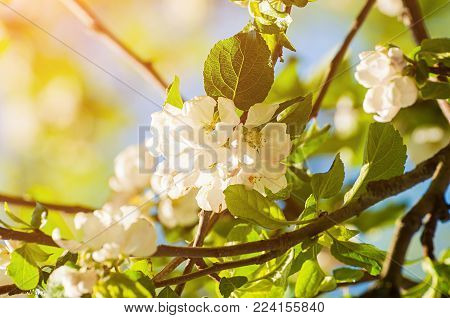 Spring landscape. Spring flowers of blooming apple tree in the sunny spring garden. Sunny spring landscape view of spring apple tree flowers in blossom. Colorful spring nature