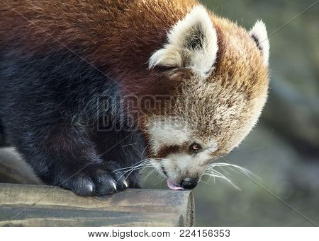 Wildlife and animals, a red Panda Bear licking the floor